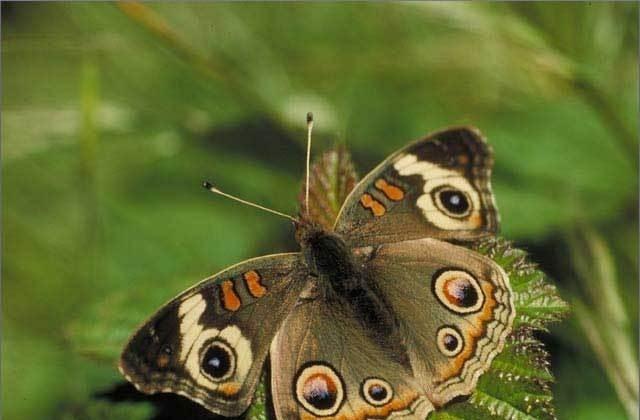Jigsaw Butterflies